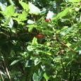 これがその木苺